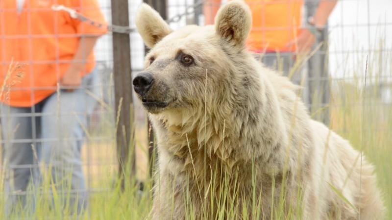 Медведица ждала своего спасения на протяжении 30 лет животные, медведь