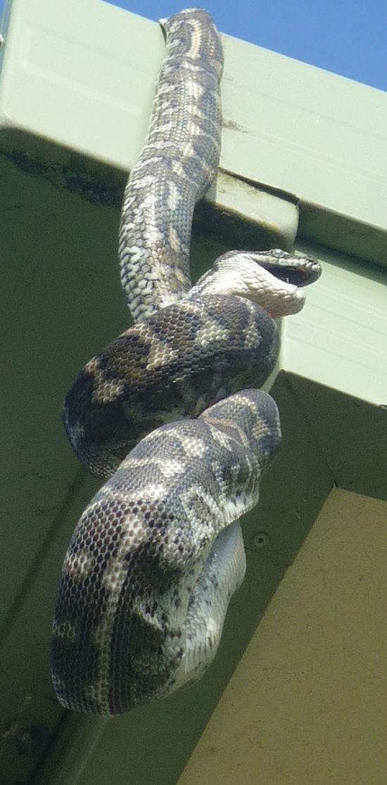 А тем временем в Австралии  австралия, животные, змея
