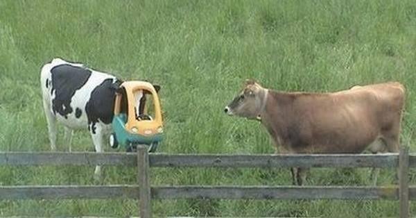 3. Когда твой друг выпил значительно больше тебя: животные, коровы, юмор