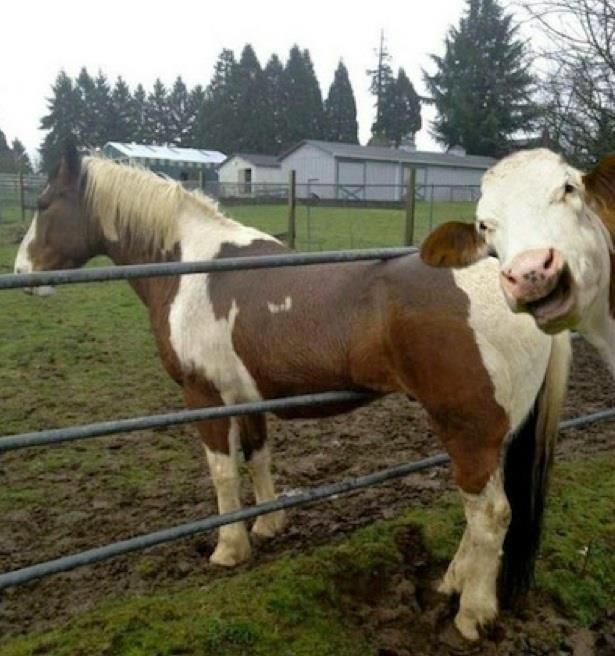 6. Когда твой друг делает глупость, и ты снимаешь это, чтобы потом использовать против него: животные, коровы, юмор