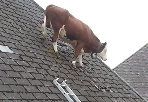 7. Когда пытаешься найти дорогу без помощи Google Maps:  животные, коровы, юмор
