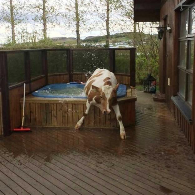 16. Когда вода оказывается холоднее, чем ты ожидал: животные, коровы, юмор