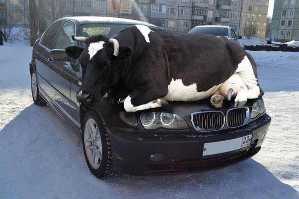 12. Когда наконец-то приобрел первую машину и пытаешься сделать крутую фотографию для профиля в соцсетях: животные, коровы, юмор