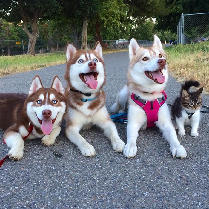Три собаки хаски спасли от смерти котёнка; теперь взрослая кошка - их лучший друг животные, кошка, милота, хаски