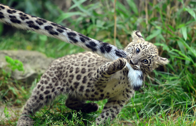 Ирбисы любят пожевать свой хвост  животные, ирбис, хвост