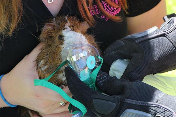 15. Морскую свинку спасают от смерти животные, пожарные, пожары