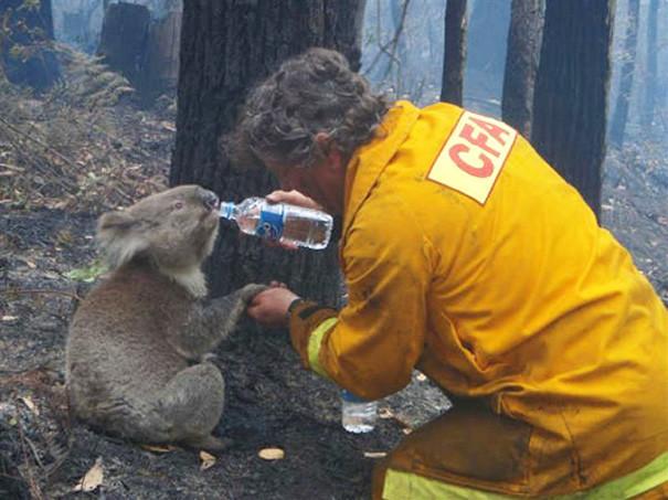 1. Пожарный дает коале Сэму воду животные, пожарные, пожары