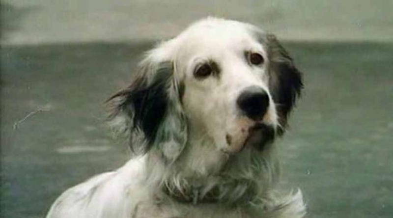 «Белый Бим Черное ухо»: история одного пса животные, кино, собака, факты