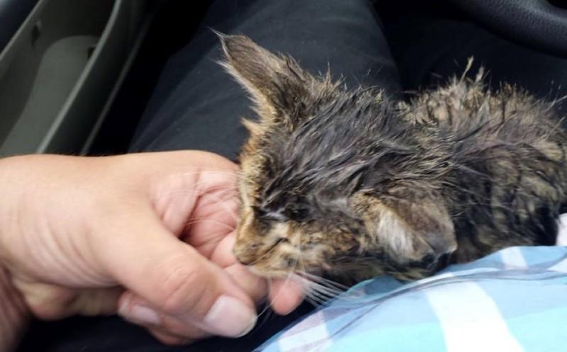 На пути к ветеринару для проверки и избавления от блох. животные, коты, котёнок