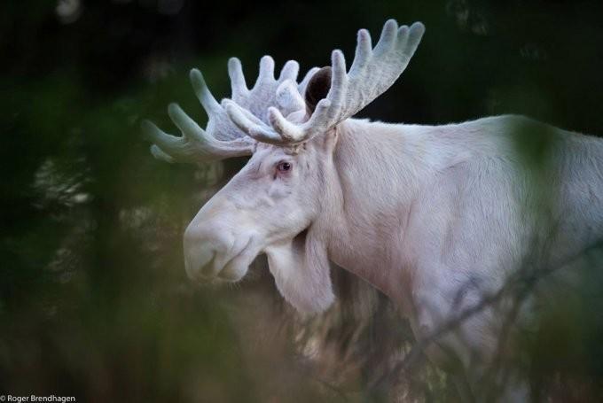 35. Лось альбинос, животные