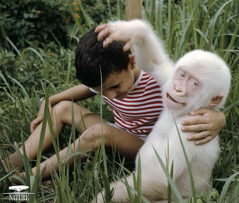 1. Горилла    альбинос, животные