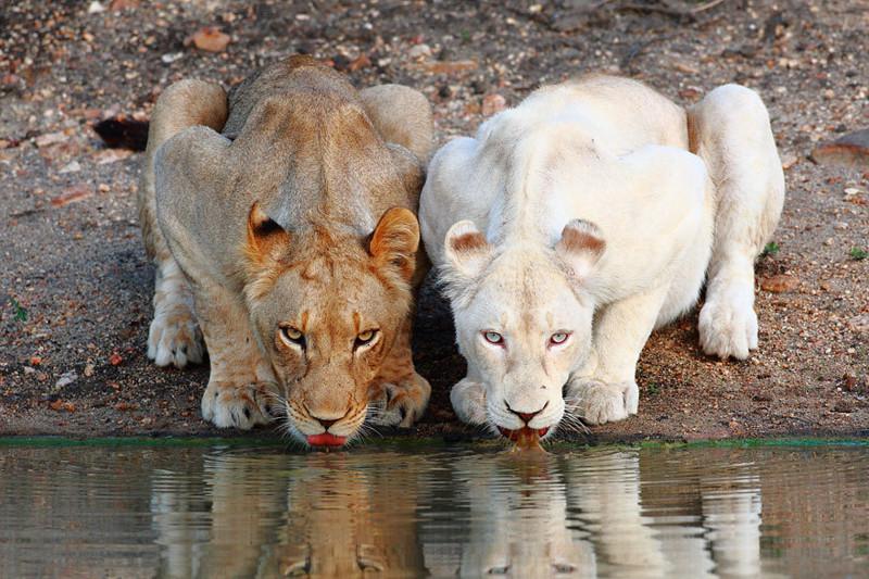 20. Львица  альбинос, животные