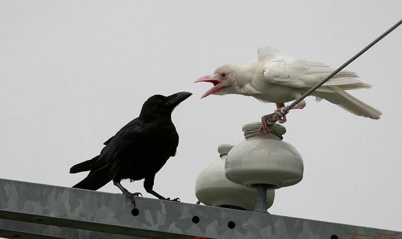 11. Ворона альбинос, животные