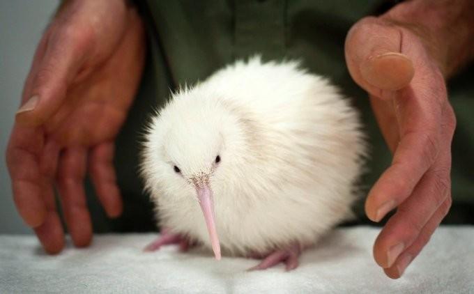 29. Птичка киви альбинос, животные