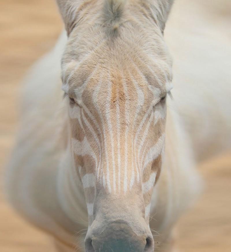 2. Зебра альбинос, животные