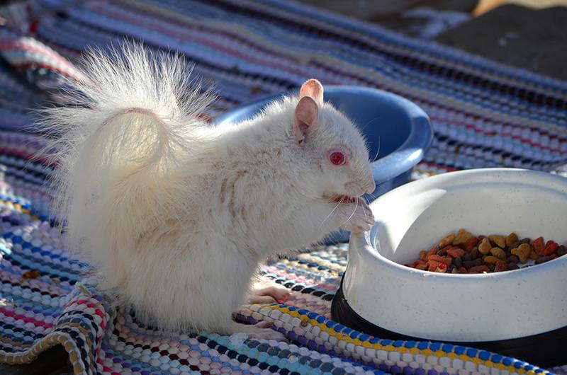 6. Белка   альбинос, животные