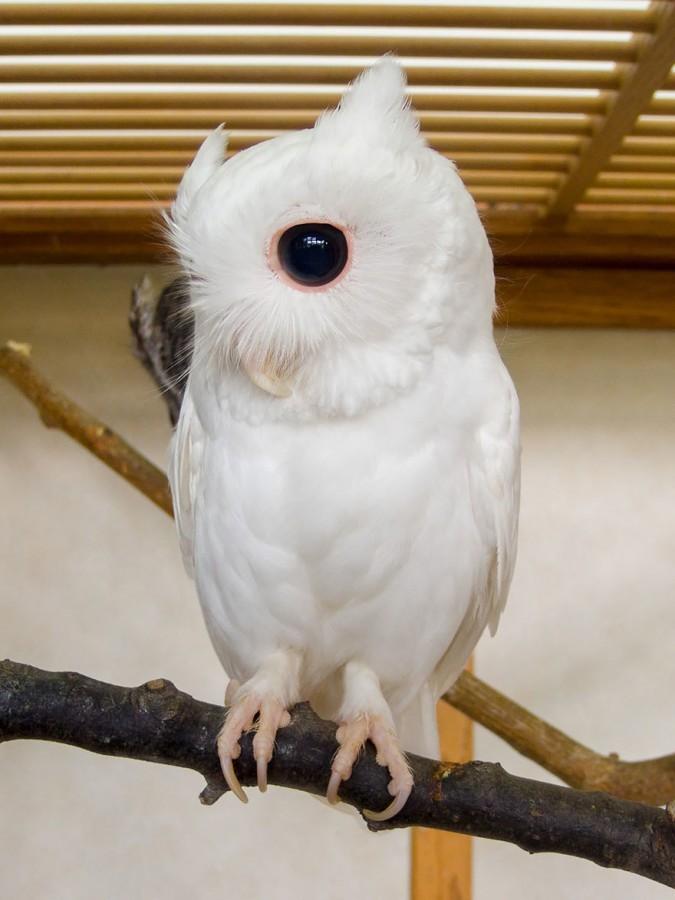 17. Сова   альбинос, животные