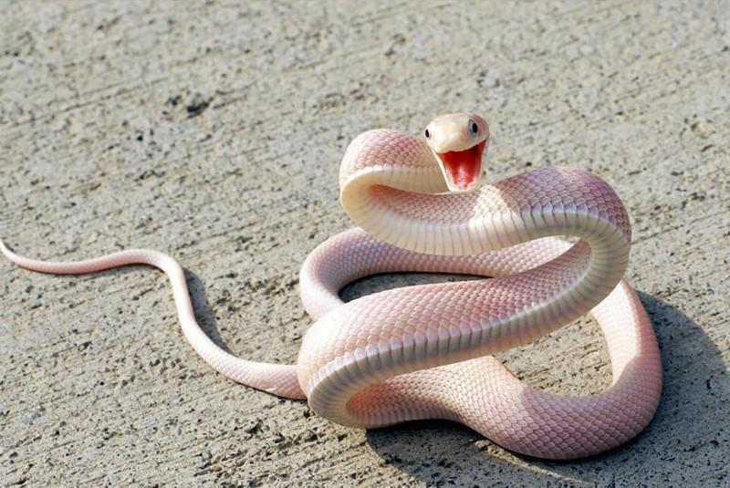 7. Змея   альбинос, животные