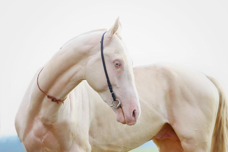 31. Лошадь альбинос, животные