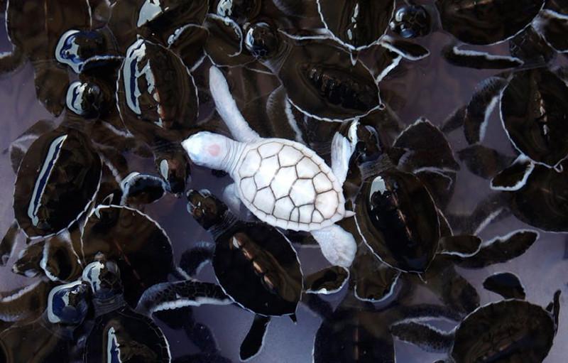 25. Черепаха  альбинос, животные