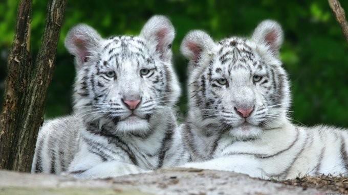 26. Тигры альбинос, животные
