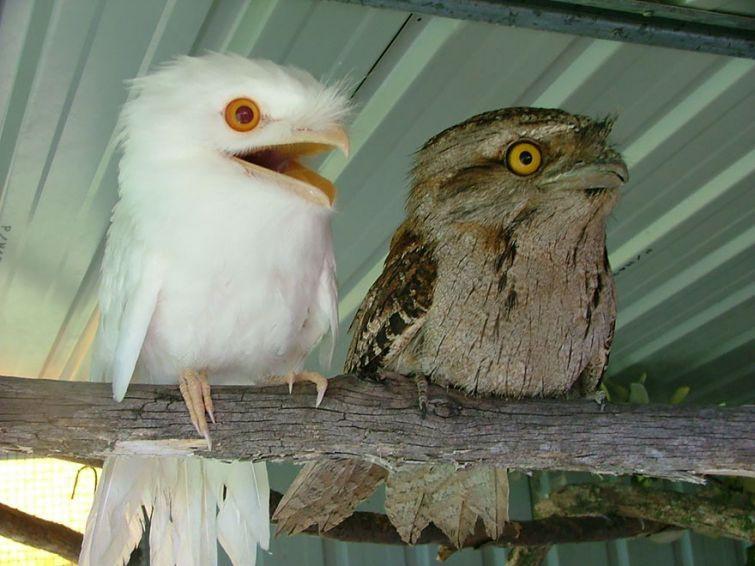 3. Совиный лягушкорот    альбинос, животные