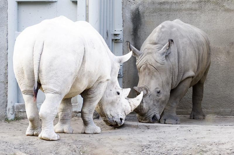 9. Носорог   альбинос, животные