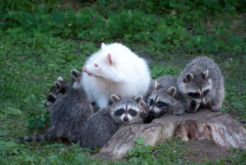 4. Енот   альбинос, животные