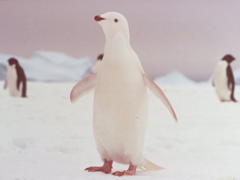8. Пингвин   альбинос, животные