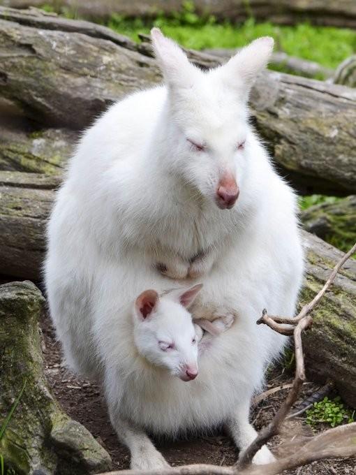 27. Снова кенгуру альбинос, животные