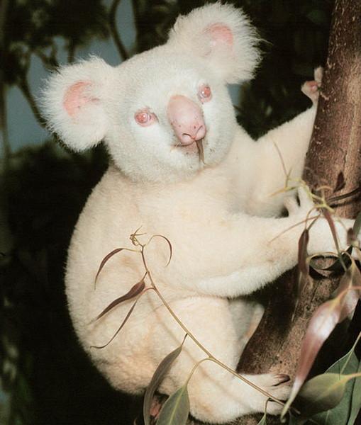 18. Коала    альбинос, животные