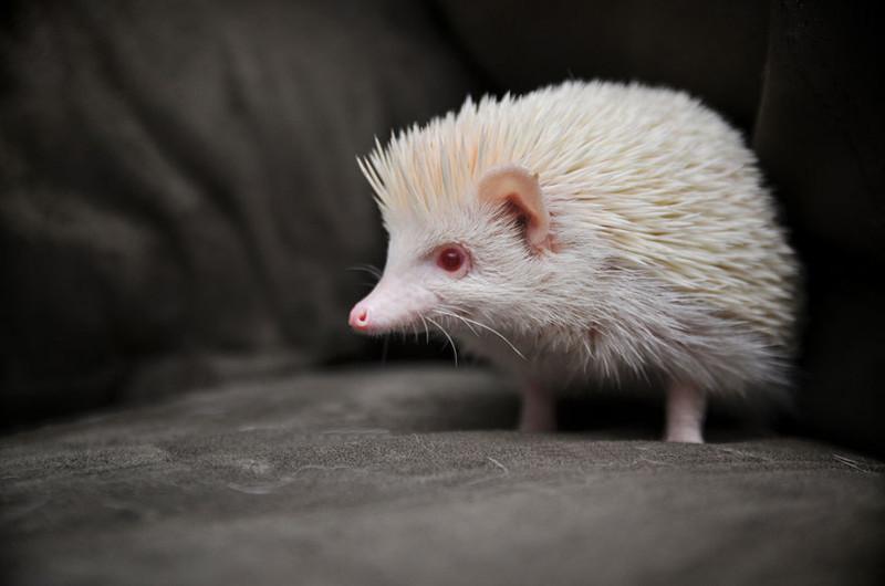 13. Ёжик альбинос, животные