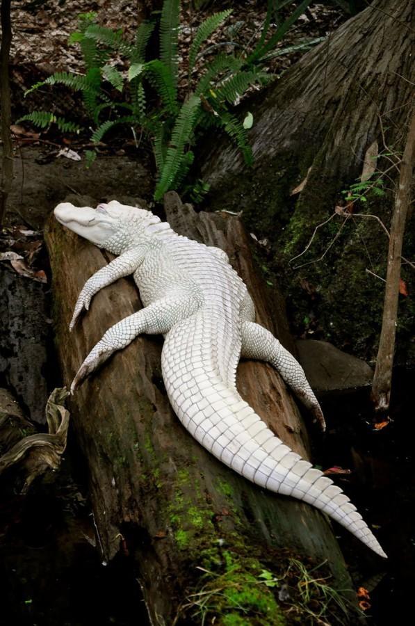 16. Аллигатор    альбинос, животные