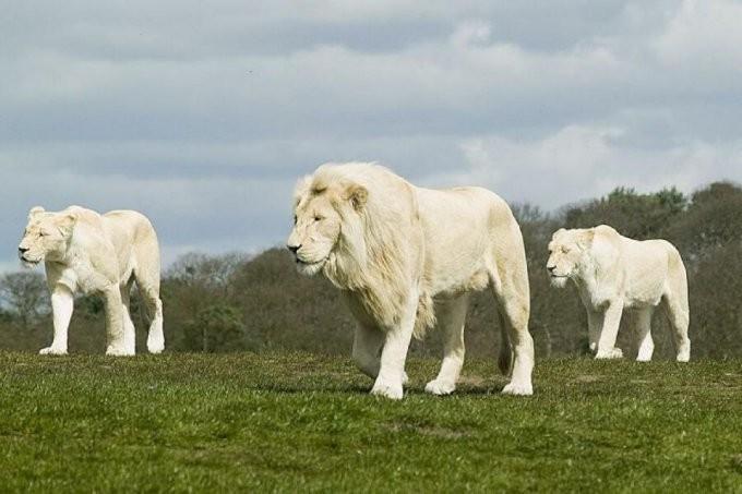 32. Семейство львов альбинос, животные