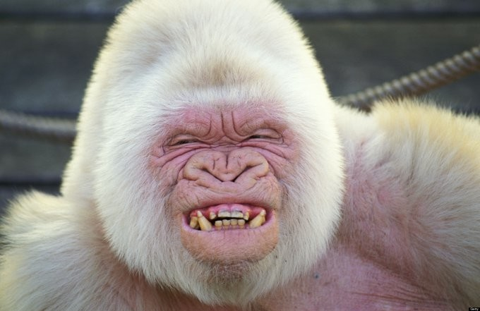 30. Горилла альбинос, животные