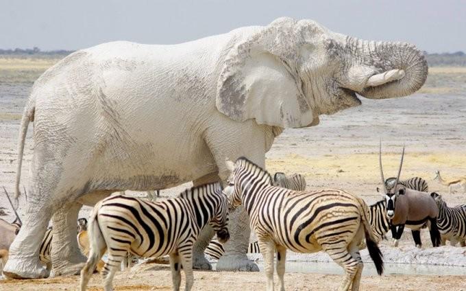 34. Слон альбинос, животные
