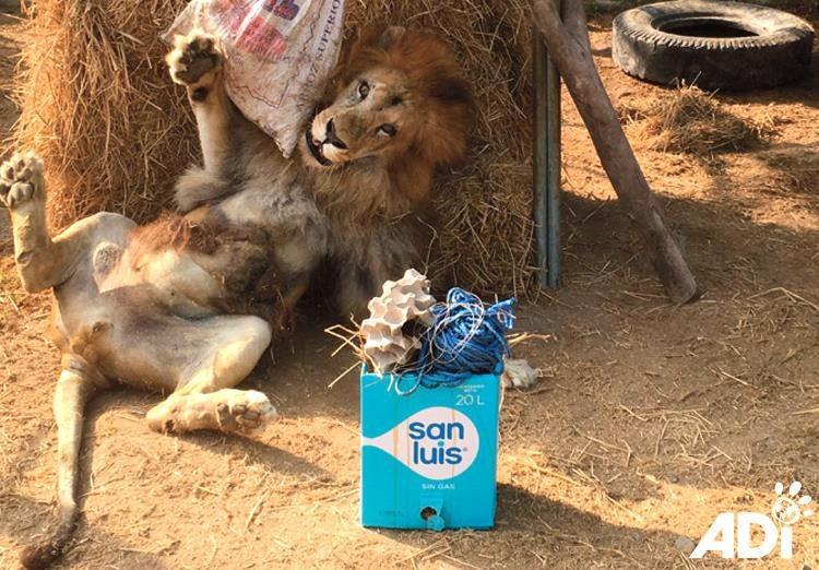 На Пасху ADI приготовили сюрприз для спасенных львов. Лео пришел в настоящий восторг, когда получил свой подарок!  животные, лев, милота