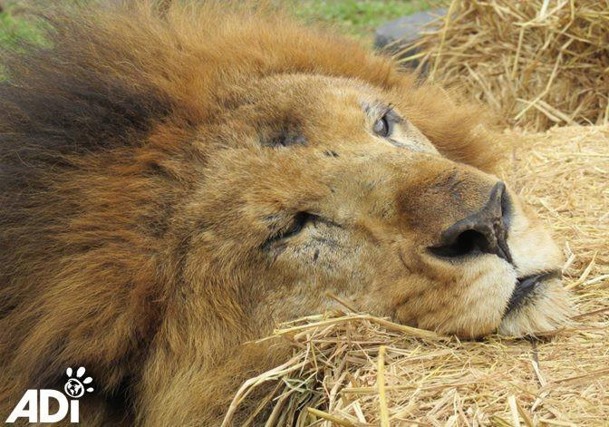 Лео и еще 32 львов спасли из различных цирков в Южной Африке, где с животными жестоко обращались. животные, лев, милота