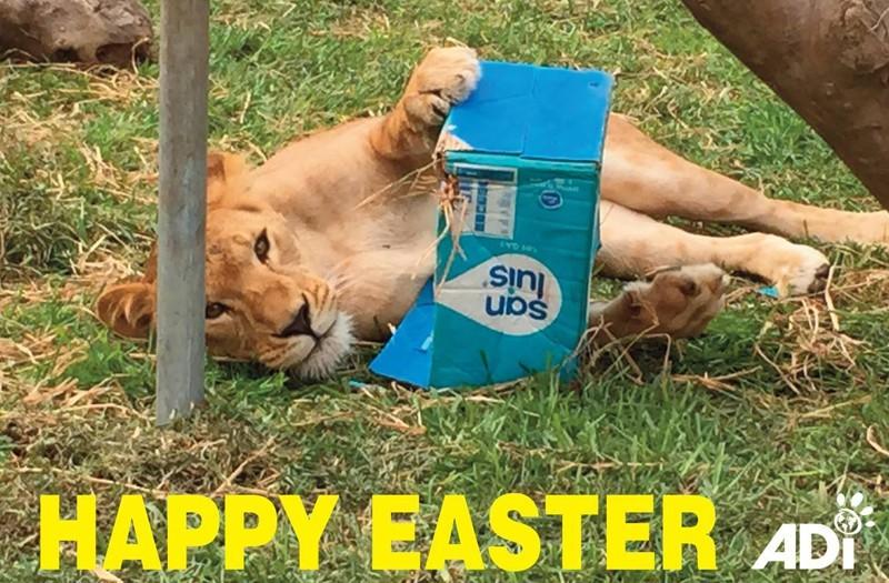 В следующем месяце 33 счастливчика отправятся в африканский заповедник Emoya Big Cat Sanctuary. животные, лев, милота