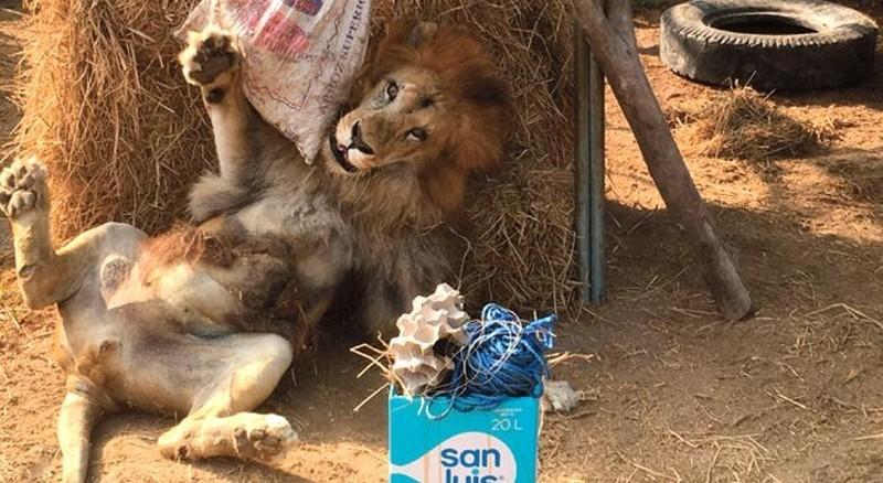 Спасенный лев пришел в бешеный восторг, когда ему вручили пасхальный подарок животные, лев, милота