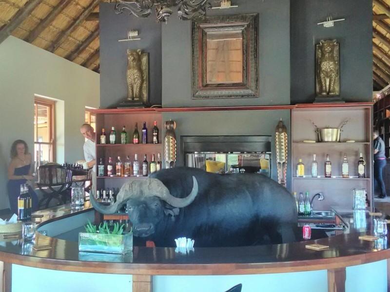 Буйвол, который зашёл в бар отеля выпить чего-нибудь прохладненького. животные, прикол, юмор