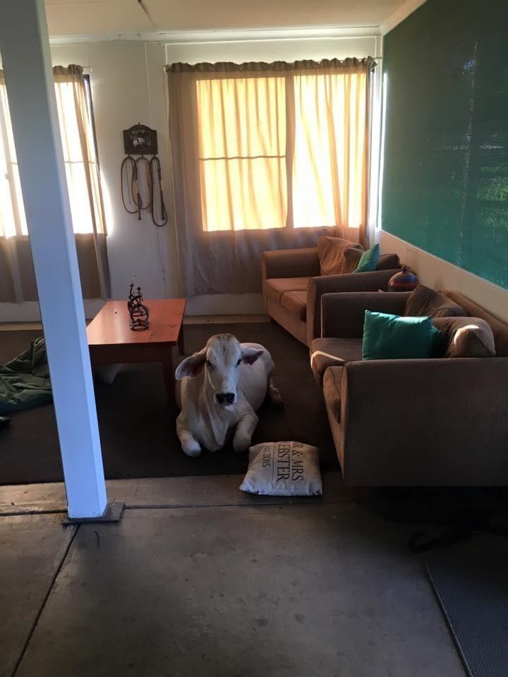 «Она просто любит пытаться проникнуть в дом, когда видит приоткрытую дверь», – рассказала Вебстер. австралия, животные, корова