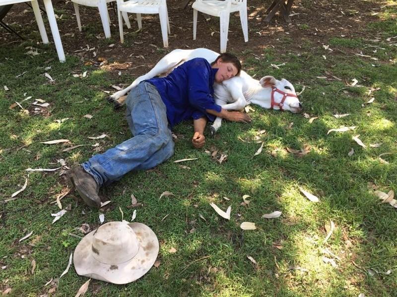 Вебстер предположила, что Берил нравится лежать на ковре, потому что в детстве у нее было собственное одеяло, на котором она спала каждую ночь.  австралия, животные, корова
