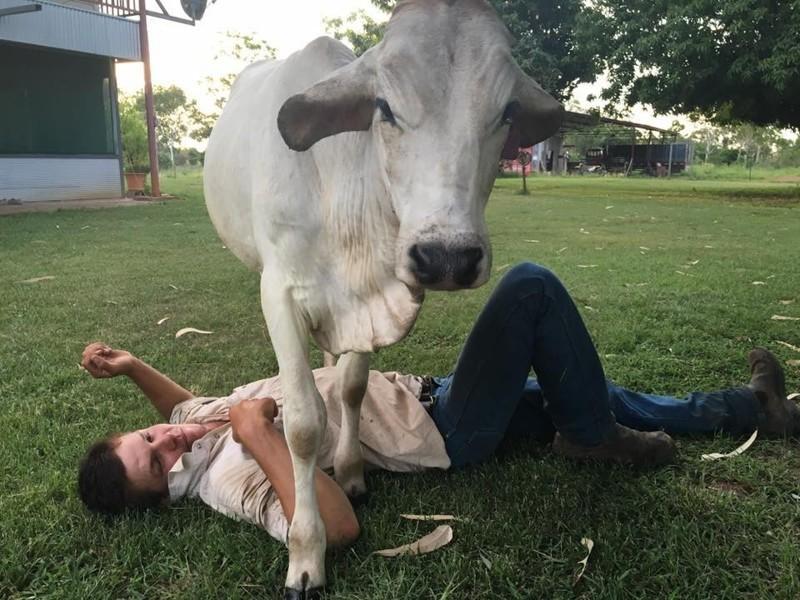 Но она не позабыла о домашнем уюте. австралия, животные, корова