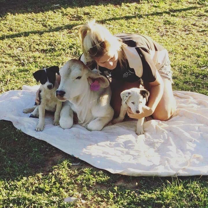 Берил необычная корова. Во-первых, она считает себя собакой – еще бы, ведь она выросла бок о бок с двумя щенками. австралия, животные, корова