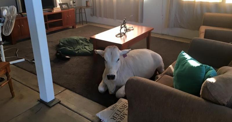 Избалованная корова вломилась в дом, потому что соскучилась по хозяевам австралия, животные, корова
