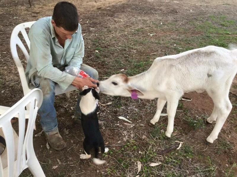 Берил особенно любит двух щенят, с которыми выросла – Фреда и Уильму. австралия, животные, корова