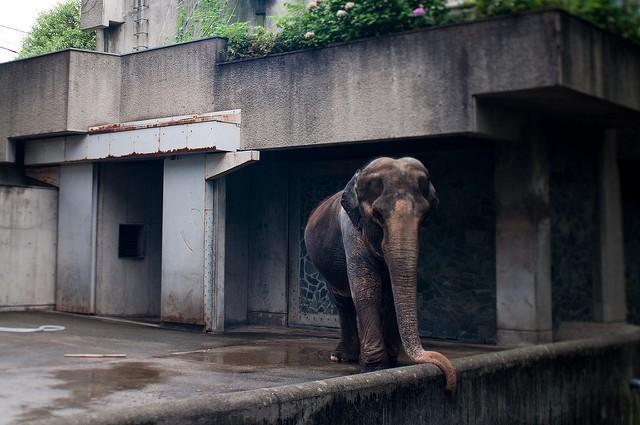 Самая печальная слониха в мире умерла после 60 лет, проведенных в клетке животные, зоопарк, слон, ханако, япония