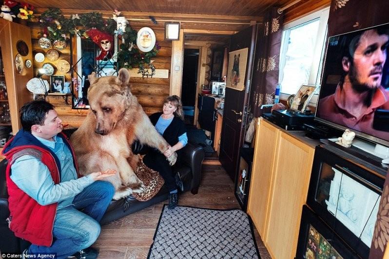 Досуг: Вечера медведь любит проводить со своей семьей, свернувшись калачиком на диване перед телевизором животные, медведь