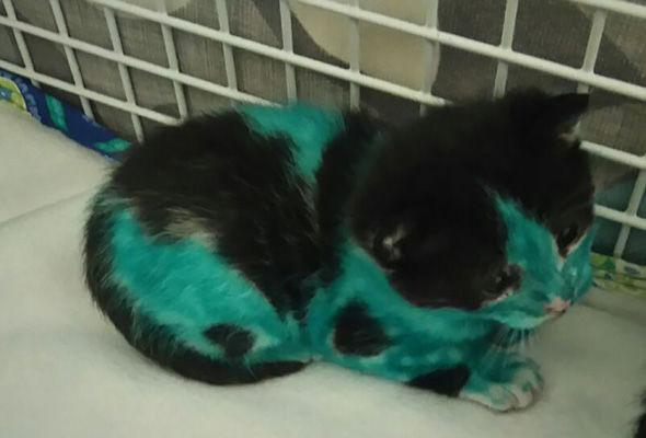 Работники приюта отмыли раскрашенных маркерами котят Смурфа и Шрека добро, животные, помощь